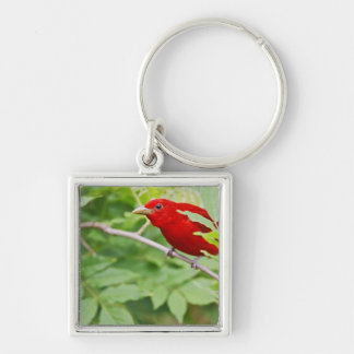 Summer Tanager Piranga rubra) male, spring, Keychains