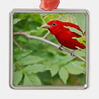 Summer Tanager Piranga rubra) male, spring, Ornaments