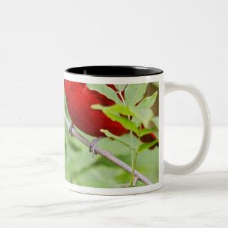 Summer Tanager Piranga rubra) male, spring, Two-Tone Coffee Mug