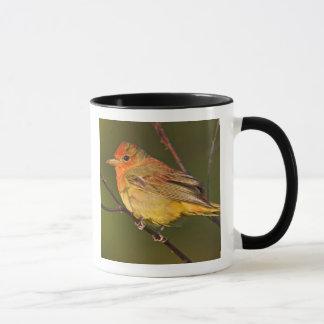 Summer Tanager Piranga rubra) young male Mug