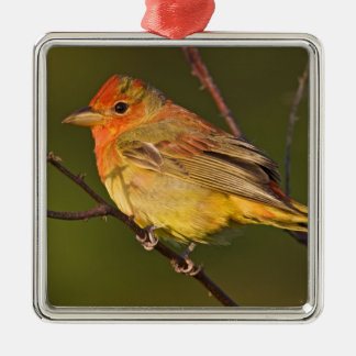 Summer Tanager Piranga rubra) young male Ornament