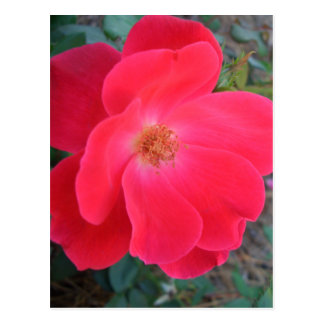Summer's Red Rose CricketDiane Designer Postcard