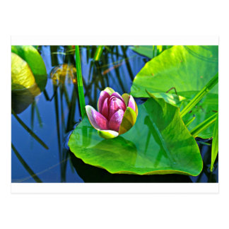 Summery oda to Water the Lily Tarjetas Postales