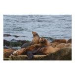 Sun bathing seals photo print