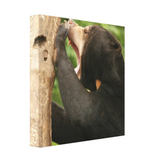 Sun Bear with Mouth Open Canvas Print