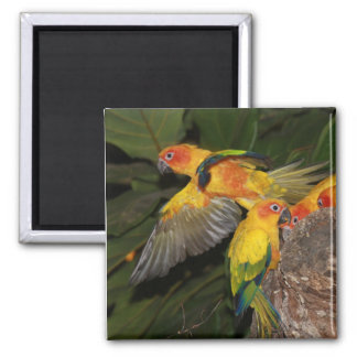 Sun Conures Magnets