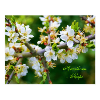 Sun-Dappled Spring Hawthorn Postcard