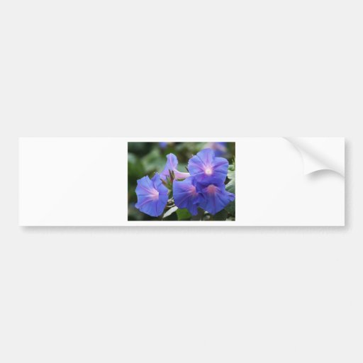 Sun Illuminated Blue and Lavender Morning Glories Bumper Stickers