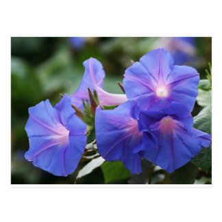 Sun Illuminated Blue and Lavender Morning Glories Postcard