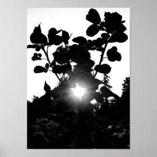 Sun through Roses B&W Poster