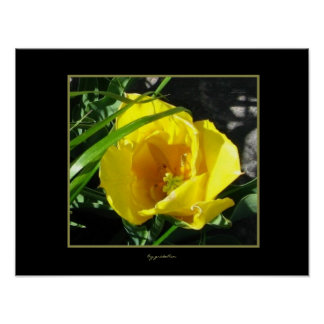 Sun Tulip Photo Poster by gretchen