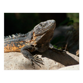 Sun-Worshipping Iguana Postcard