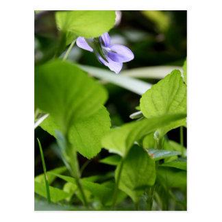 Sunbathing? - Wild Violets Postcard
