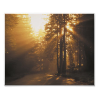 Sunbeams and redwoods photo print
