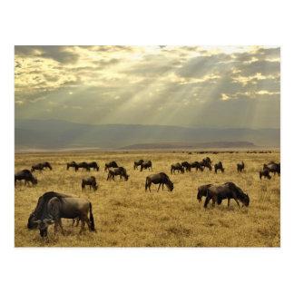 Sunbeams and Wildebeest, Connochaetes taurinus Postcard