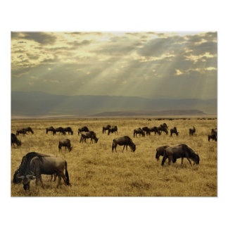 Sunbeams and Wildebeest, Connochaetes taurinus Poster
