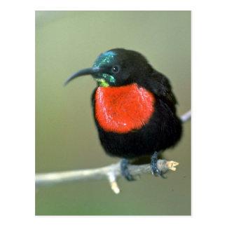 Sunbird meridional de escarlata-Chester Tarjetas Postales