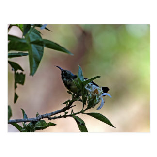 Sunbird variable en Etiopía Tarjeta Postal