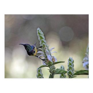 Sunbird variable en la África del Este Postales