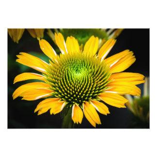 Sunburst Yellow Coneflower Photo Print