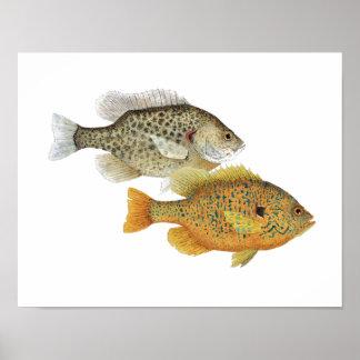 Sunfish Beauties Poster
