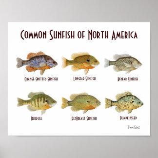 Sunfish común de Norteamérica. Poster