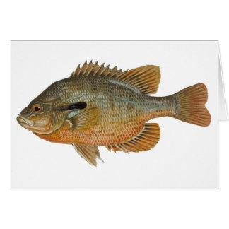 Sunfish de Redbreast - auritus del Lepomis Tarjeton