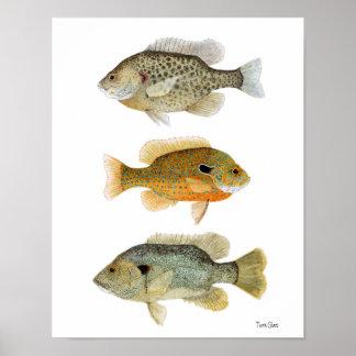 Sunfish Redear, Longear y Sunfish verde Póster