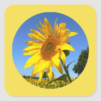 Sunflower 01.1.2rd, Field of Sunflowers Square Sticker