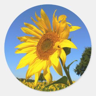 Sunflower 01.1rd, Field of Sunflowers Classic Round Sticker