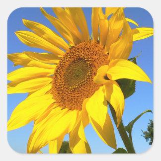 Sunflower 01.1rd, Field of Sunflowers Square Sticker
