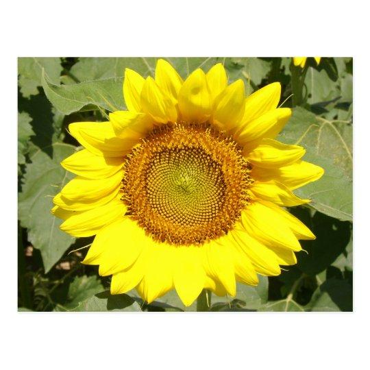 Sunflower 1 postcard