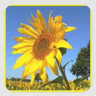 Sunflower 3.0, Field Of Sunflowers Square Sticker
