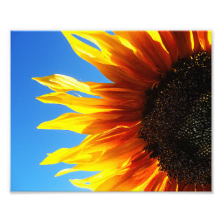 Sunflower Aflame 10x8 Photo Print
