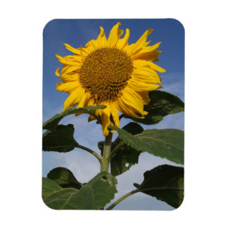 Sunflower against blue sky magnet