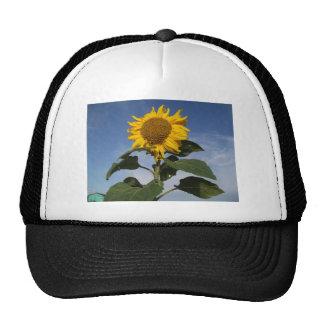 Sunflower against blue sky trucker hat