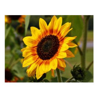 Sunflower aka Helianthus Postcards