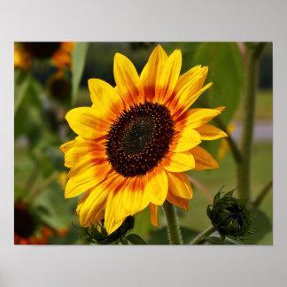 Sunflower aka Helianthus Poster