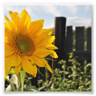 Sunflower and Fence Art Photo