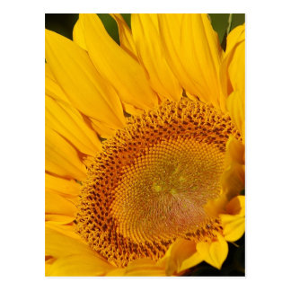 Sunflower and meaning post cards