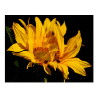 Sunflower and meaning post card