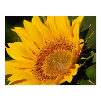 Sunflower and meaning postcard