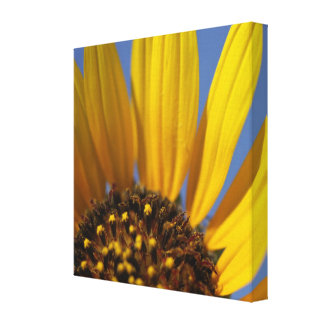 Sunflower at First Light Canvas Prints