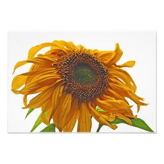 sunflower bad hair day photo print