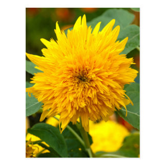 Sunflower Before Bloom Postcard