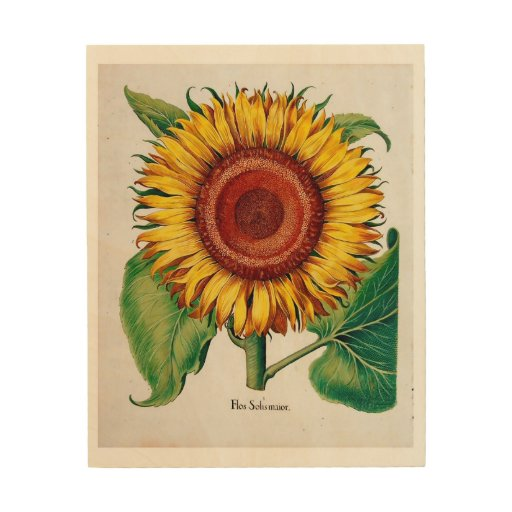 Sunflower-Botanical Illustration - Wood Canvas