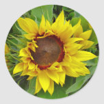 Sunflower Close-up Stickers