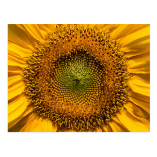 Sunflower closeup post cards