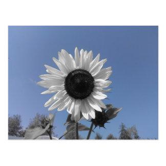 Sunflower Color Splash Postcard