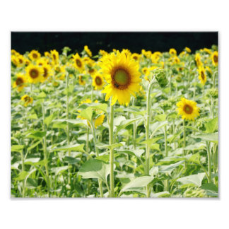 Sunflower Delight 10 x 8 Photographic Print